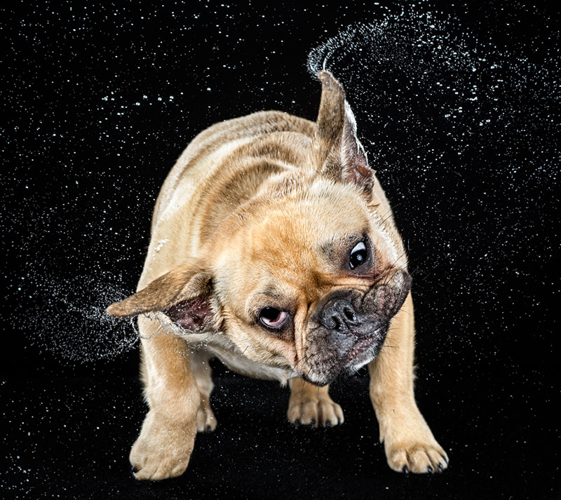 High-Speed Photographs of Dogs Shaking by Carli Davidson